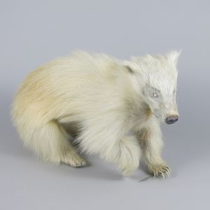 Albino Badger