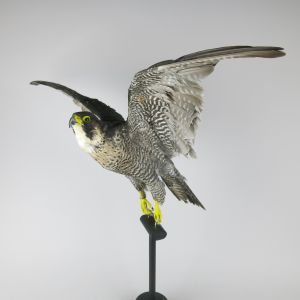 Peregrine Falcon (in flight)