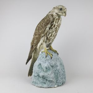 Gyr Falcon (dark phase)