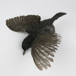 Blackbird in flight 2