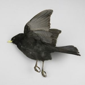 Blackbird in flight 1