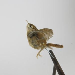 Wren in flight
