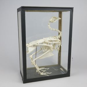 Chicken skeleton (cased)
