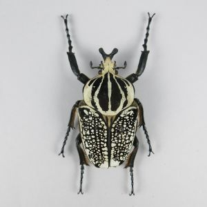 Goliath Beetle 1