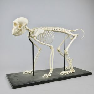 Rhesus monkey skeleton