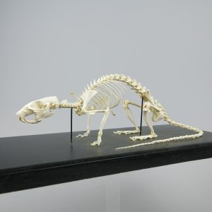 Rat skeleton 2