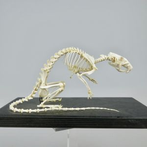 Rat skeleton 1