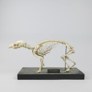 Hyrax skeleton