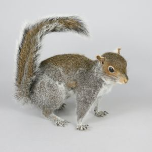 Grey Squirrel 4