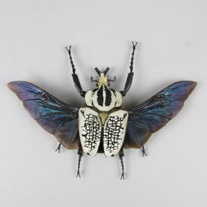 Goliath Beetle (wings open)