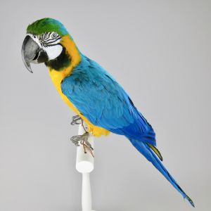 Blue & Gold Macaw 1