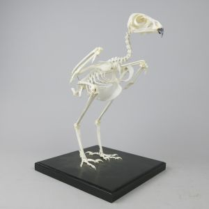 Buzzard skeleton