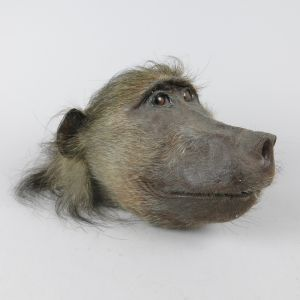 Baboon head