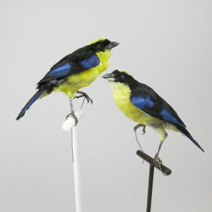 Blue Winged Mountain Tanager x 2