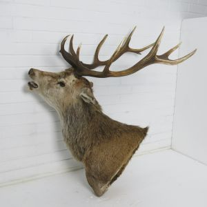 Stag 5