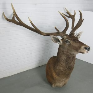 Stag 4