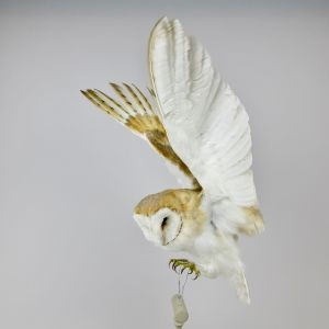 Barn Owl 1 (in flight)