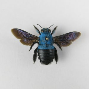 Tropical Blue Bee