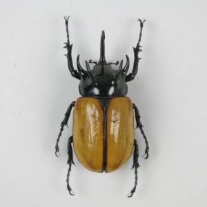 Horned beetle