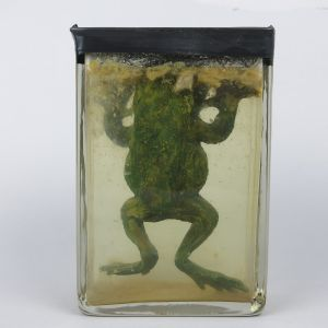 Pickled Toad (replica)