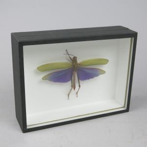 Cased purple winged grasshopper