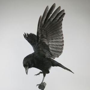 Crow in flight 1