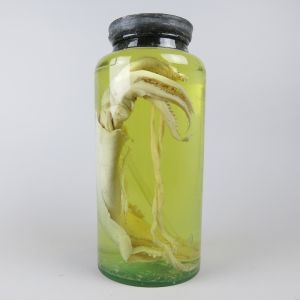 Pickled giant Squid in jar