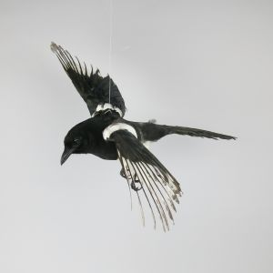 Magpie in flight 3