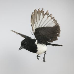 Magpie in flight 6