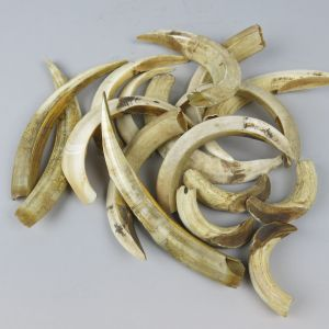 Boar tusks