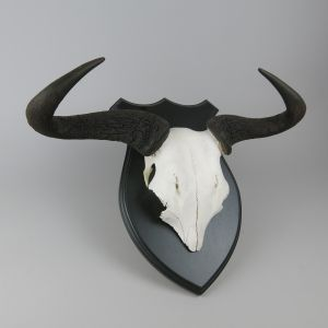 Wildebeest / Gnu horns