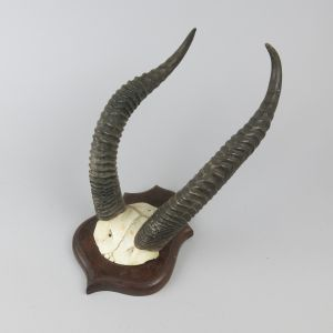 Gerenuk horns 2 (Litocranius walleri)