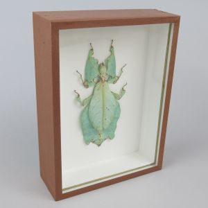 Leaf insect (brown case)