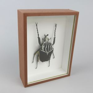 Goliath beetle (brown case)