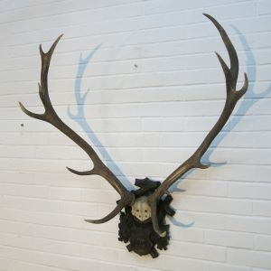 Stag Antlers (C)