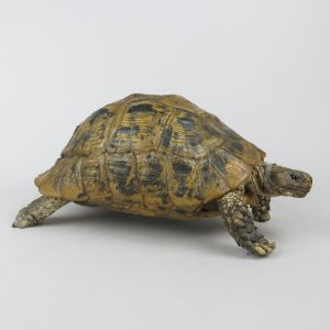 Spur-thighed Tortoise 1
