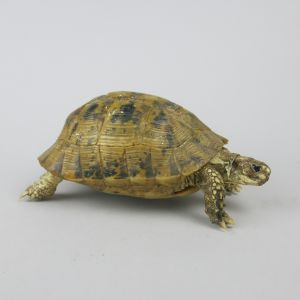 Spur-thighed Tortoise 2