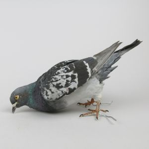 Feral Pigeon 3