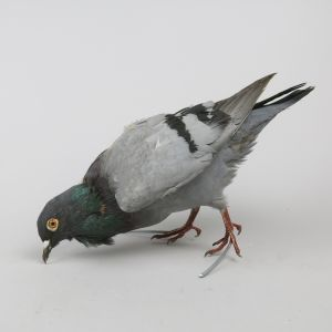 Feral Pigeon 4
