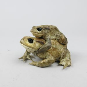 Common Toads, mating 1
