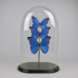 Glass dome of butterflies