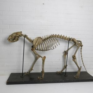 Leopard skeleton