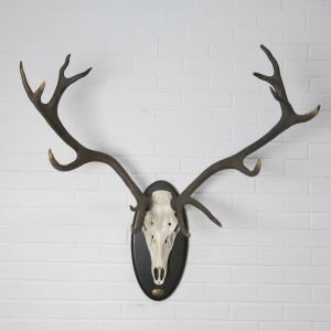 Stag Antlers (I)