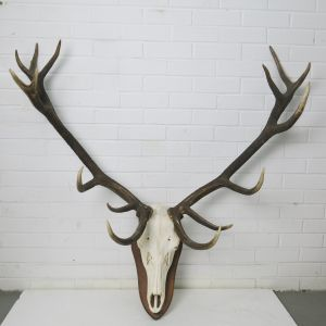 Stag Antlers (D)