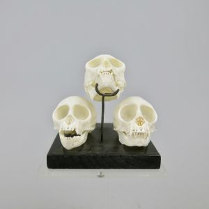 Squirrel monkey skulls