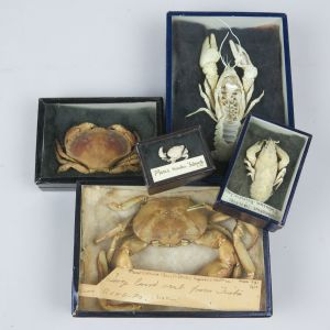 Museum boxed Crabs / Lobsters