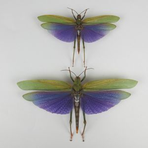Purple winged grasshoppers