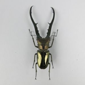 Cyclommatus metalifer