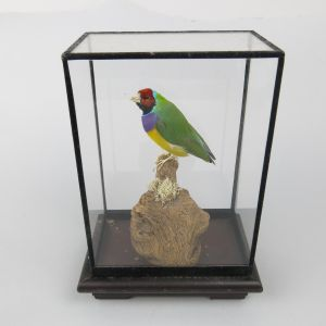 Cased Gouldian Finch