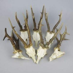 Roe antlers (no shields)